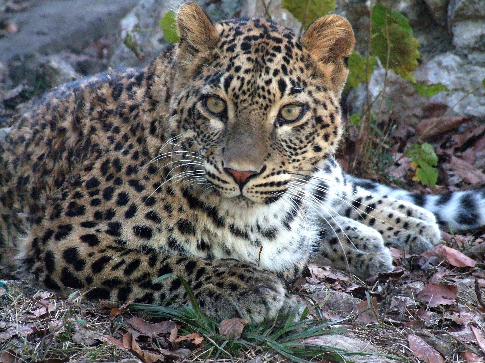 Что уже сделано для возвращения леопарда на Кавказ