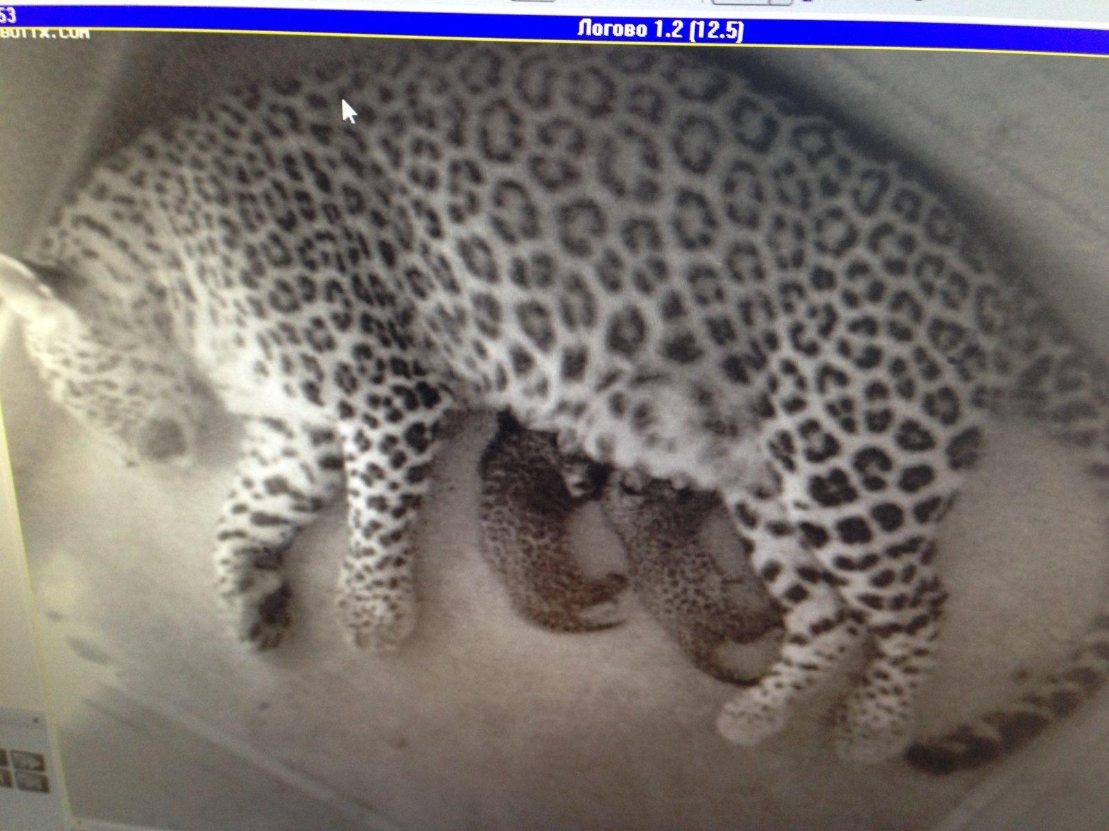Первые леопардята родились в Сочинском национальном парке летом 2013 года