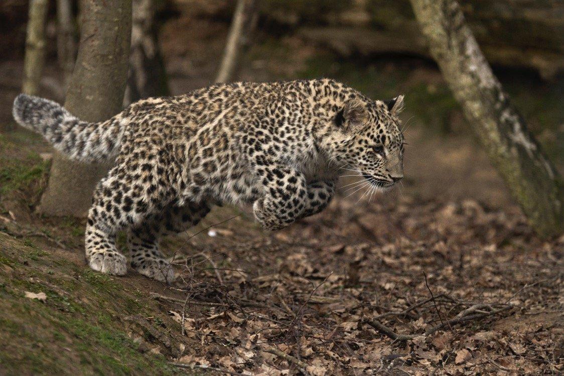 История исчезновения переднеазиатского леопарда