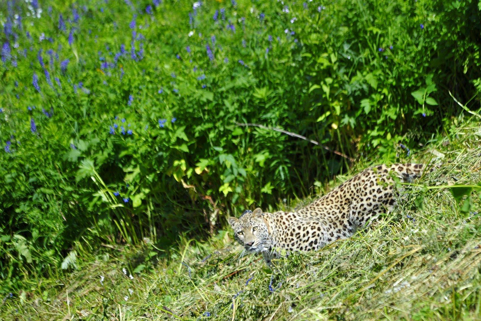 Леопарды возвращаются на россиский Кавказ