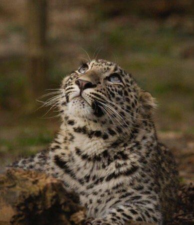 Леопард Симбад прибыл в Центр восстановления леопарда в Сочинском национальном парке