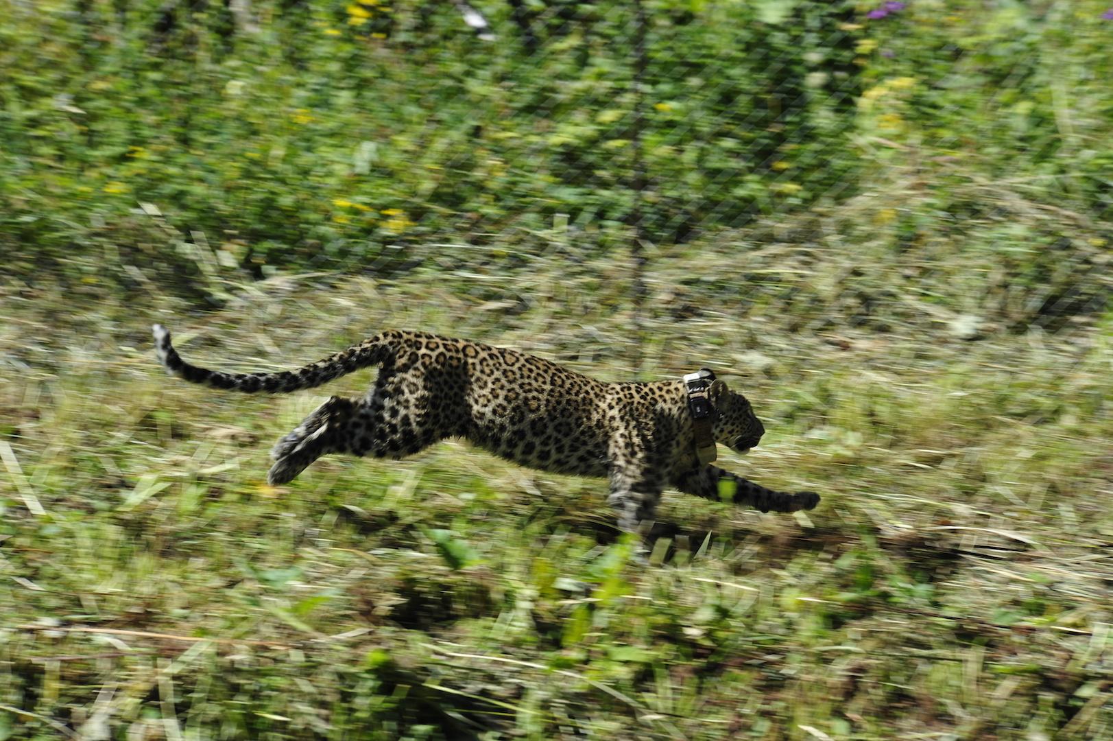Год спустя после выпуска первых леопардов
