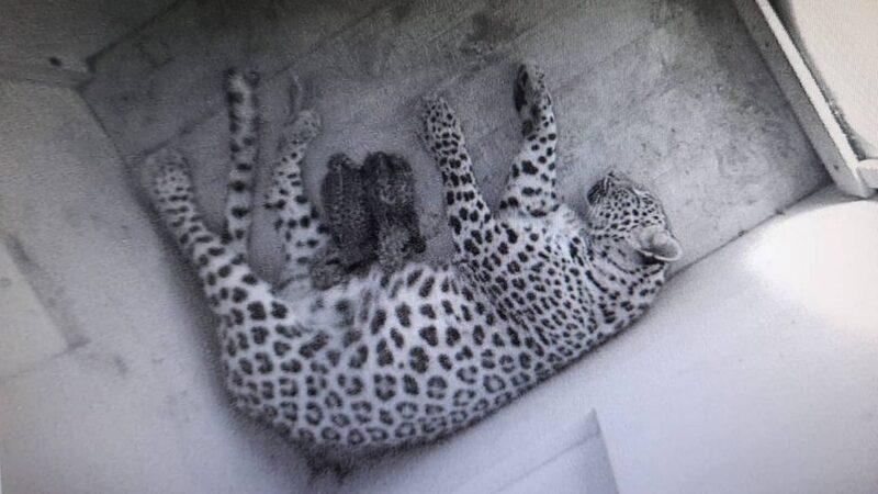 Леопардесса Шива родила в Центре двух котят